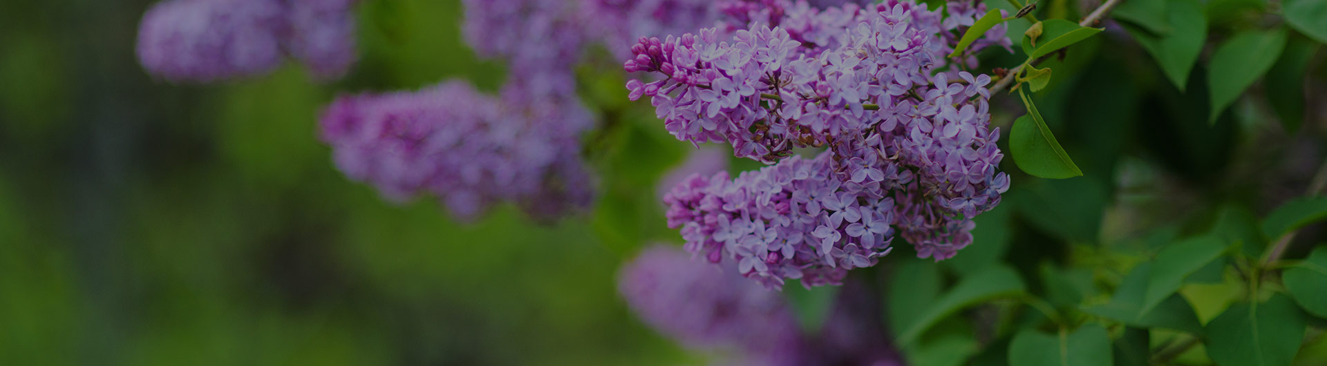 Purple lilac flowers, New Hampshire's state flower.
